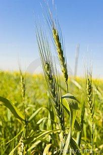 wheat-growing-
