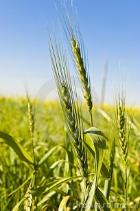 wheat-growing-