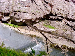 SpringCherryJapan
